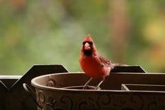 Los Angeles natury en automne au québec: Tata kardynał zdjęcia stock