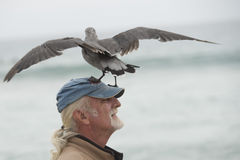 LOS ANGELES, USA - AUGUST 3, 2014 - seagull landing on a man head Royalty Free Stock Photos
