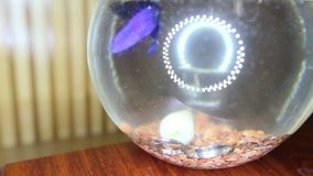 Los anillos de bodas caen en el acuario con el primer púrpura de los pescados