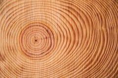 Los anillos del árbol de pino Foto de archivo libre de regalías