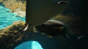 Los animales acuáticos, pescados de bacalao flotan en el tanque subacuático grande en agua azul almacen de video