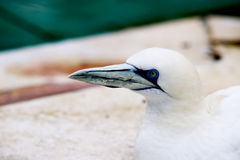 Los animales de Basstölpel se ennegrecen, el fondo asombroso blanco del pájaro de vuelo del papel pintado Foto de archivo libre de regalías
