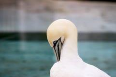 Los animales de Basstölpel se ennegrecen, el fondo asombroso blanco del pájaro de vuelo del papel pintado Imagen de archivo libre de regalías