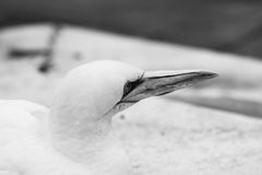 Los animales de Basstölpel se ennegrecen, el fondo asombroso blanco del pájaro de vuelo del papel pintado Imagenes de archivo