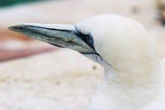 Los animales de Basstölpel se ennegrecen, el fondo asombroso blanco del pájaro de vuelo del papel pintado Foto de archivo