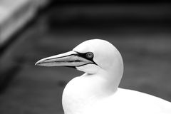 Los animales de Basstölpel se ennegrecen, fondo asombroso aislado blanco del pájaro de vuelo del papel pintado Fotos de archivo