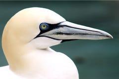 Los animales de Basstölpel se ennegrecen, fondo asombroso aislado blanco del pájaro de vuelo del papel pintado Imagen de archivo