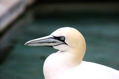 Los animales de Basstölpel se ennegrecen, fondo asombroso aislado blanco del pájaro de vuelo del papel pintado Imágenes de archivo libres de regalías