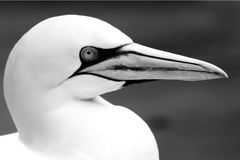 Los animales de Basstölpel se ennegrecen, fondo asombroso aislado blanco del pájaro de vuelo del papel pintado Imagen de archivo libre de regalías