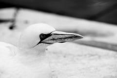 Los animales de Basstölpel se ennegrecen, fondo asombroso aislado blanco del pájaro de vuelo del papel pintado Fotografía de archivo