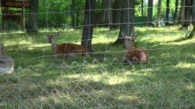 Los animales de las huevas mienten en hierba en territorio cercado parque zoológico Enfoque hacia fuera metrajes