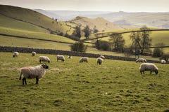 Los animales de las ovejas en granja ajardinan el día soleado en el distrito máximo Reino Unido Fotos de archivo