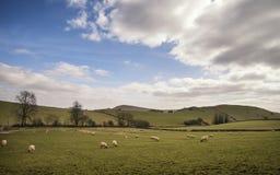 Los animales de las ovejas en granja ajardinan el día soleado en el distrito máximo Reino Unido Foto de archivo