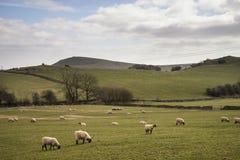 Los animales de las ovejas en granja ajardinan el día soleado en el distrito máximo Reino Unido Imagen de archivo libre de regalías