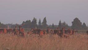 Los animales de los ciervos reúnen crecido en campo cercado del cautiverio 4K almacen de video