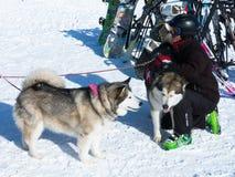 Los animales domésticos del esquiador rescatan perros en el campo del esquí de las montañas de Afton Fotografía de archivo libre de regalías