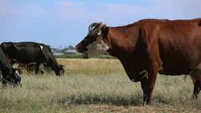 Los animales domésticos pastan en prado metrajes