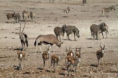 Los animales en un waterhole en Etosha parquean en Namibia Fotografía de archivo libre de regalías