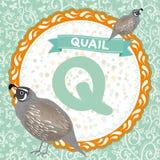 Los animales Q de ABC son codornices El alfabeto inglés de los niños Vector Foto de archivo