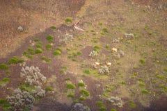 Los animales salvajes de las cabras de montaña de la fauna del estado de Washinton pastan Imagen de archivo