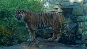 Los animales salvajes, tigre se colocan en registro contra la cascada en el área protegida metrajes