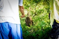 Los apicultores son quitan el enjambre de las abejas atadas en el árbol Foto de archivo libre de regalías
