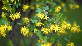 Los arbustos con las pequeñas flores amarillas agitan en viento ligero de la primavera metrajes