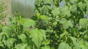 Los arbustos de la grosella negra con las bayas se sacuden en el viento almacen de metraje de vídeo