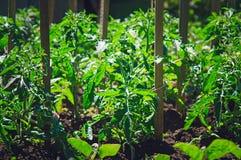 Los arbustos de tomates crecen en el jardín Cultivando un huerto, produciendo un tomate imagen de archivo