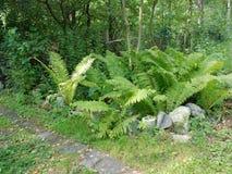 Los arbustos del helecho crecen cerca de la trayectoria Fotos de archivo libres de regalías