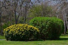 Los arbustos florecientes con follaje joven en el parque Fotos de archivo libres de regalías