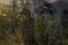 Los arbustos florecientes del ` con el amarillo florecen en el fondo de las ventanas mediaval en ` de la primavera Imagen de archivo libre de regalías