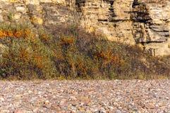 Los arbustos salvajes de espino amarillo en un fondo de acantilados y de guijarros arenosos del río Autumn Landscape imagen de archivo