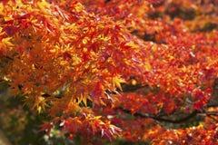 Los arces anaranjados Fotos de archivo libres de regalías