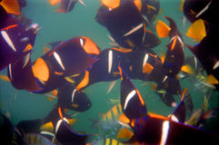 Los Arcos Tropical Fish. Underwater photo of tropical fish feeding on bread crumbs at Los Arcos south of Puerto Vallarta Mexico Stock Photo