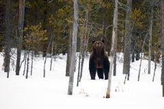 Los arctos del Ursus del oso marrón en la nieve Fotografía de archivo