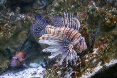 Los arrecifes de coral despredadores de las aletas de la cebra del lionfish de los pescados son una familia de colores brillantes Foto de archivo libre de regalías