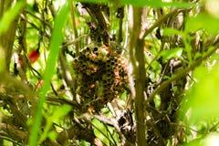 Los avispones están jerarquizando en albahaca santa de la rama Imagenes de archivo
