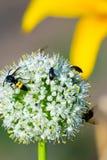 Los avispones y el insecto negro en la cebolla del jardín florecen Imagen de archivo