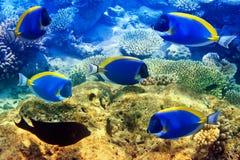 Los azules claros ponen una espiga en corales. Maldivas. imagen de archivo