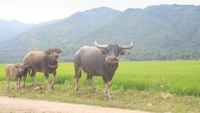 Los búfalos Bullcalf van a lo largo de campo del arroz contra las colinas almacen de video