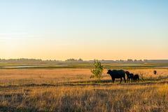 Los búfalos de agua pastan en una reserva de naturaleza mojada grande en el Nethe Fotos de archivo
