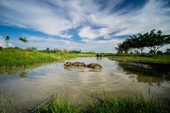 Los búfalos tailandeses locales están tomando un baño en pantano Fotos de archivo