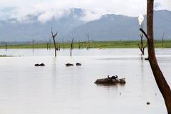 Los búfalos toman un baño Fotografía de archivo