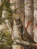 Los búhos de orejas alargadas se sientan en ramas Foto de archivo