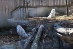 Los búhos se sientan en parque zoológico Imagenes de archivo
