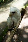 los búhos son raros con los ojos hermosos que viven en el salvaje foto de archivo