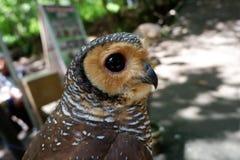 los búhos son raros con los ojos hermosos que viven en el salvaje fotos de archivo