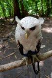 los búhos son raros con los ojos hermosos que viven en el salvaje fotografía de archivo