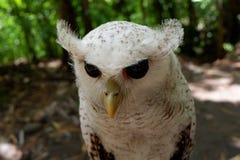 los búhos son raros con los ojos hermosos que viven en el salvaje fotografía de archivo libre de regalías